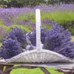 Lavender helps with Stress, Fatigue, and Post-Party Effects