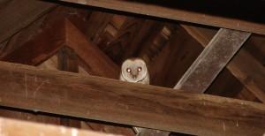 Owl In Granery