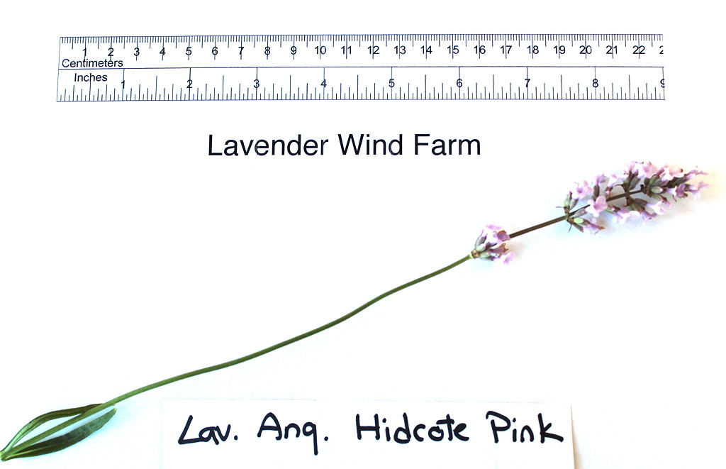 Hidcote Pink Flower