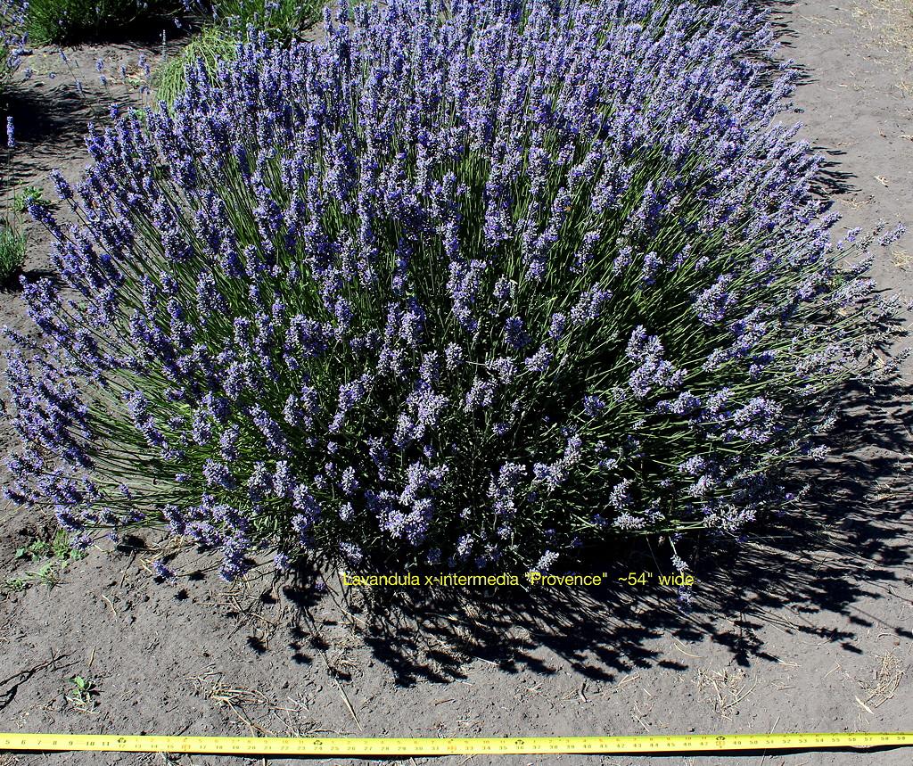 Provence Bush