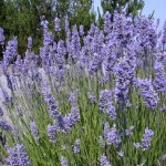 """Lavendula x-intermedia var. """"Provence"""""""