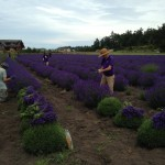 Harvesting Lavender Day One