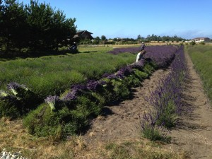 Harvesting Grosso 2013