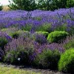 Planting New Lavender?