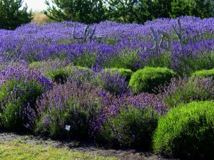 Several varieties of Lavender