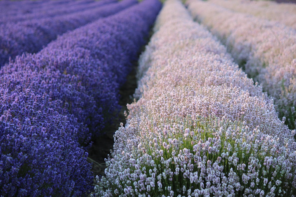 Lavender Farm Tours from Coast to Coast - Lavender Wind