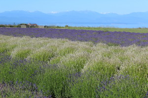 Olympic Mountains and Strait of Juan de Fuca from our lavender field.