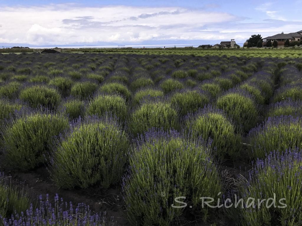 Folgate Lavender Pre-Bloom 2017