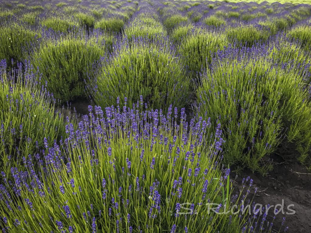 Folgate Lavender Pre-Bloom 2 2017