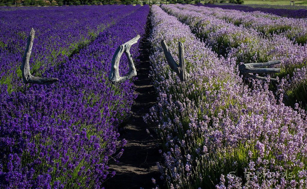 Tour Our Whidbey Island Lavender Farm This Summer