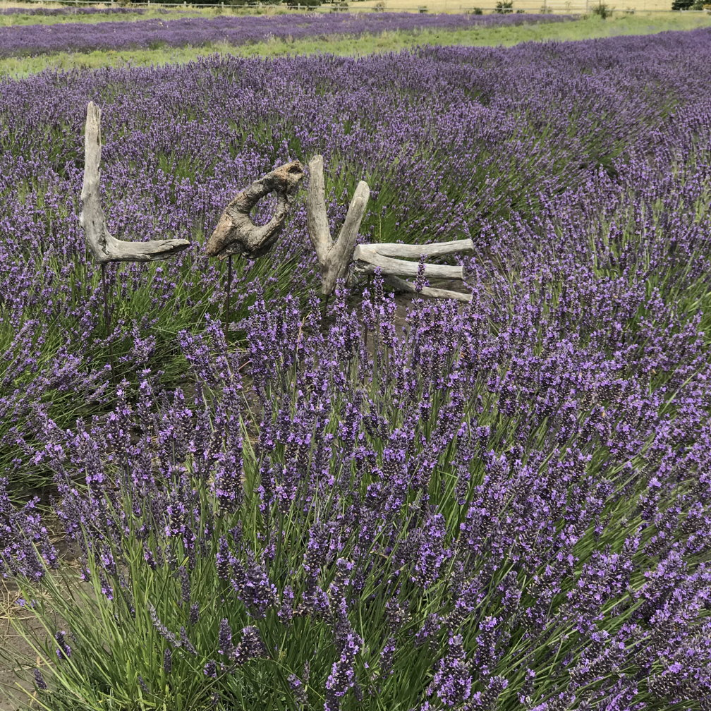 Lavender Wind - Come to our SHOP in COUPEVILLE (open all