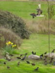 Blackbirds, Daffodils and Greenhouse